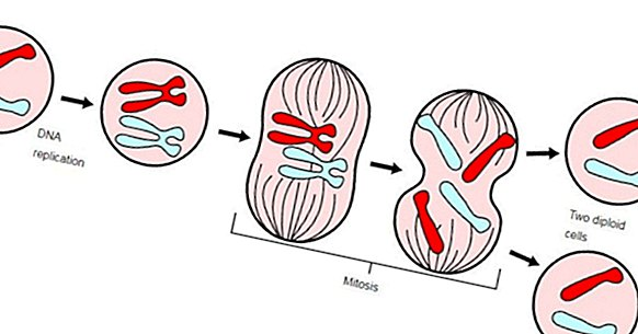 Les 4 phases de la mitose: comment la cellule double