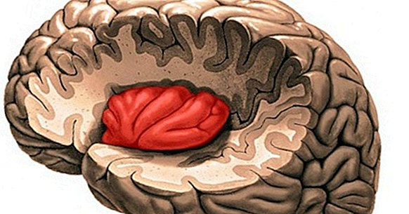 The insula: anatomy and functions of this part of the brain