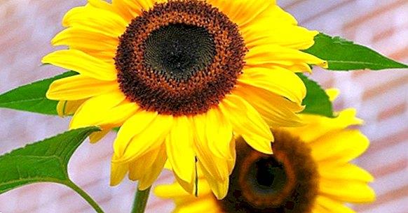 Antofobija (strah od cvjetova): uzroci, simptomi i liječenje